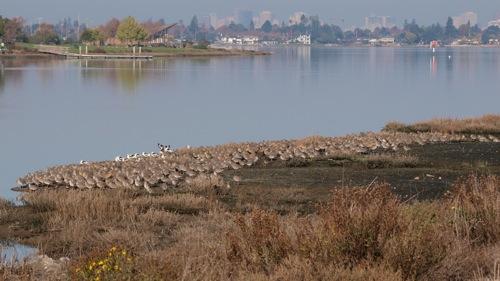 A Quiet Nation of Shorebirds – San Francisco Bay Area
