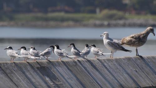 There is a Season … Terns (Alameda Terns)