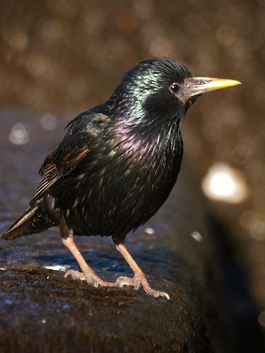 Not-So-Ordinary Black Birds