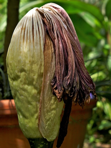 A Day in the Life of a Corpse Flower