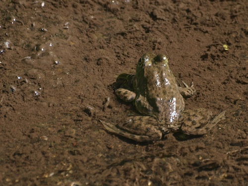 An American Bullfrog in Berkeley