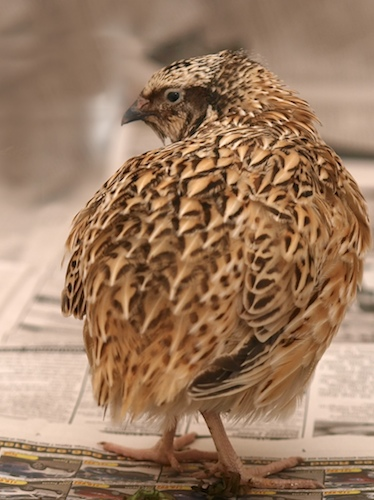 The Case of the Misidentified Quail