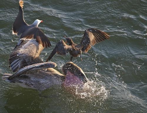 The Flight of the Pelican