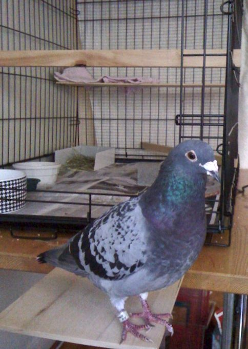 Learning From a Racing Pigeon