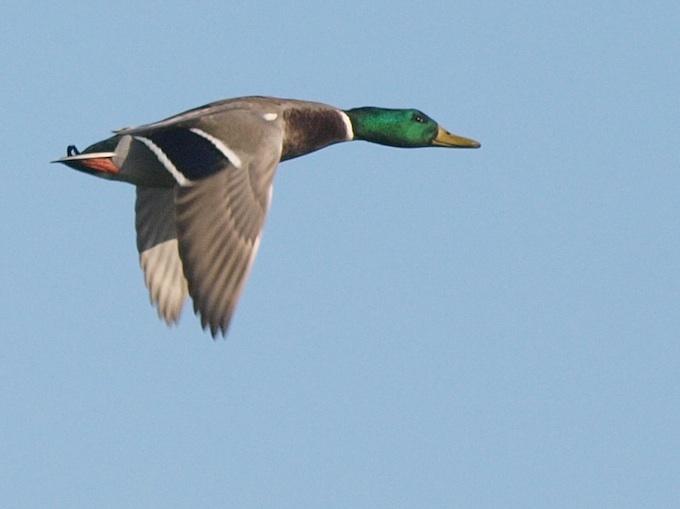 Ducky Surveillance