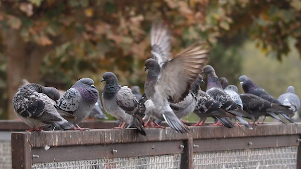 Videos: Changing Our Cultural Views of Pigeons