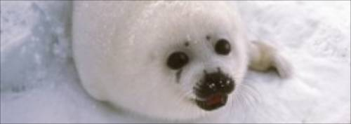 The Ongoing Plight of Seal Pups