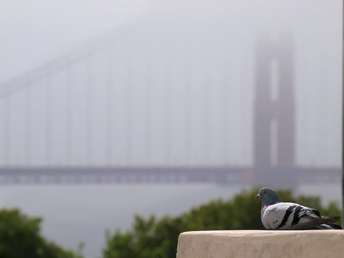 Golden Gate Pigeon