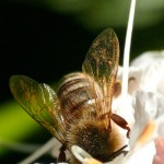 Honey Bee in California Buckeye Tree