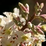 California Buckeye Flowers