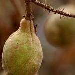 California Buckeye Fruit and Seed