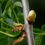California Buckeye Bud
