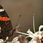 Butterfly in Buckeye Tree