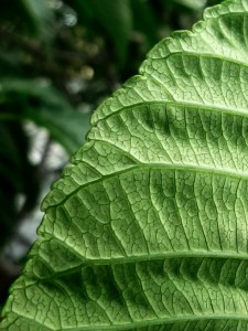 California Buckeye Leaf