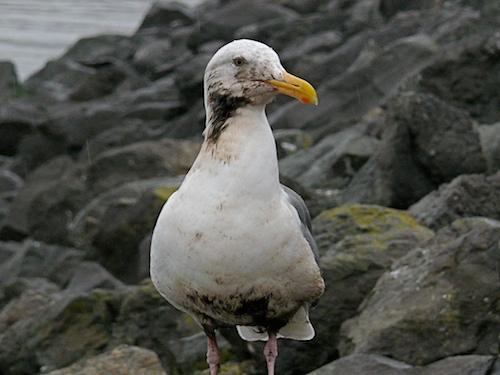 Wildlife Rescue in Gulf Oil Spill