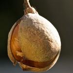 California Buckeye Fruit