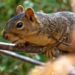 Fox Squirrel in California Buckeye Tree