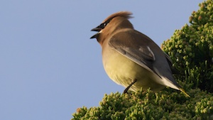 The Penultimate Waxwing