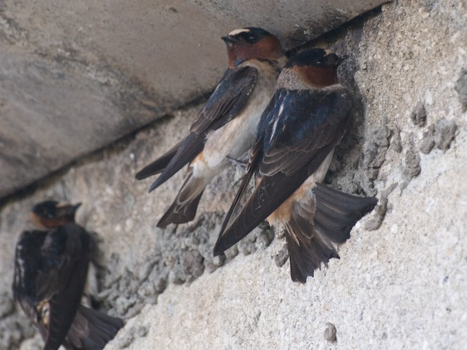 The Swallows [400 Miles North] of Capistrano