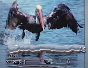 Miss Them Already: California Pelicans
