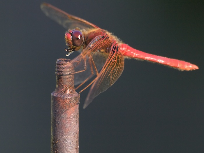 A Dragonfly's Dinner