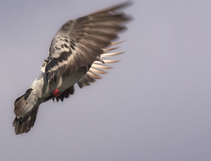 Pigeon Over Seattle