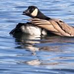 Canada goose preening