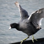 American Coot on boom
