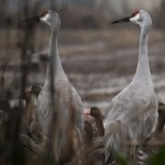 Sandhill Cranes in field