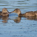 Blue-winged Teal females