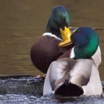 Mallard Drakes fighting