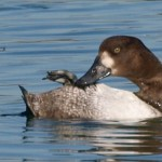 Scaup Female