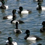 Raft of Scaup ducks