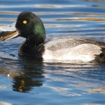 Scaup eating mollusk