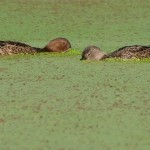 Blue-winged Teal dabbling
