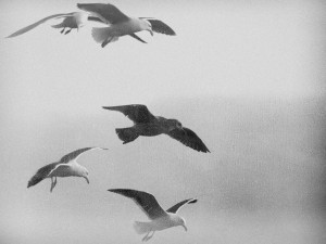 Gulls in Black and White