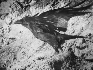 Common Raven Taking Off