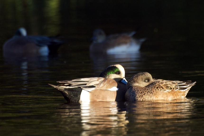 The Enculturation of Wigeons