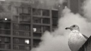 Gull of the Revolution