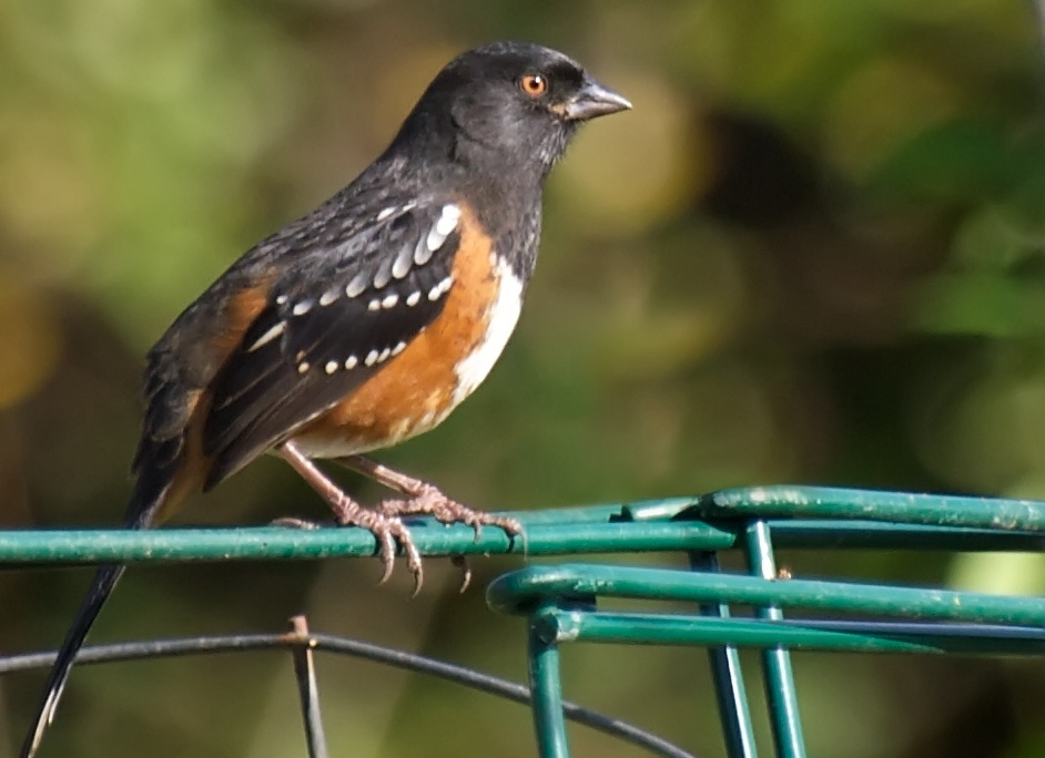 Watch for Towhees, Flying Low