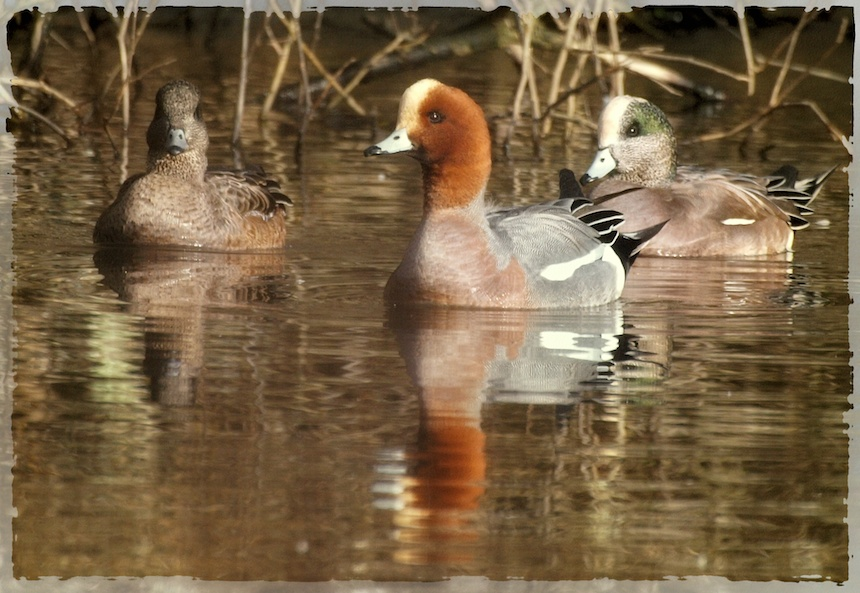 Wigeon Report