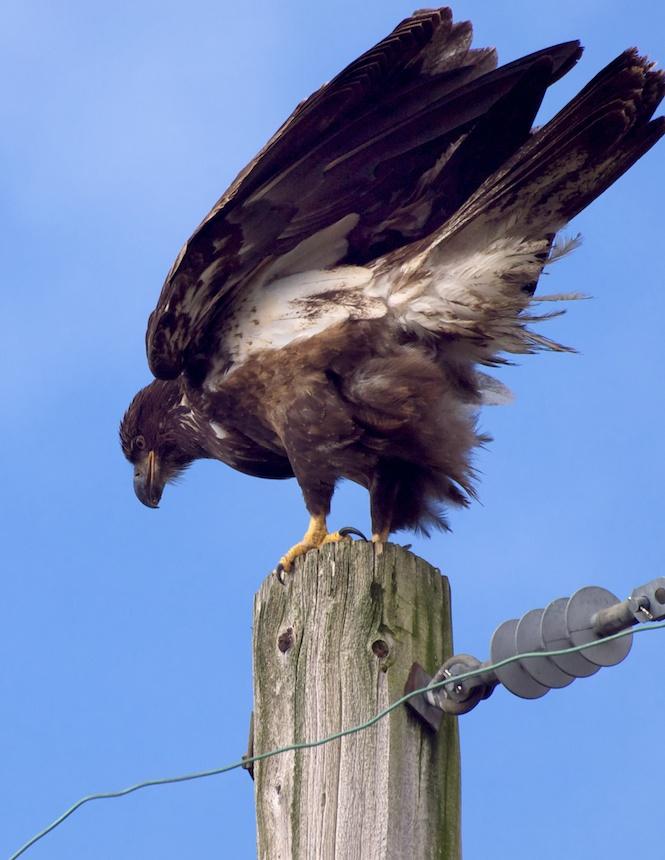 Bald Eagle in the Backyard