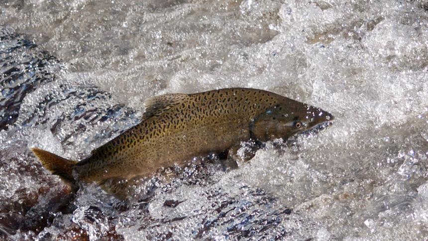 Local Salmon & the Salmon ISA Virus