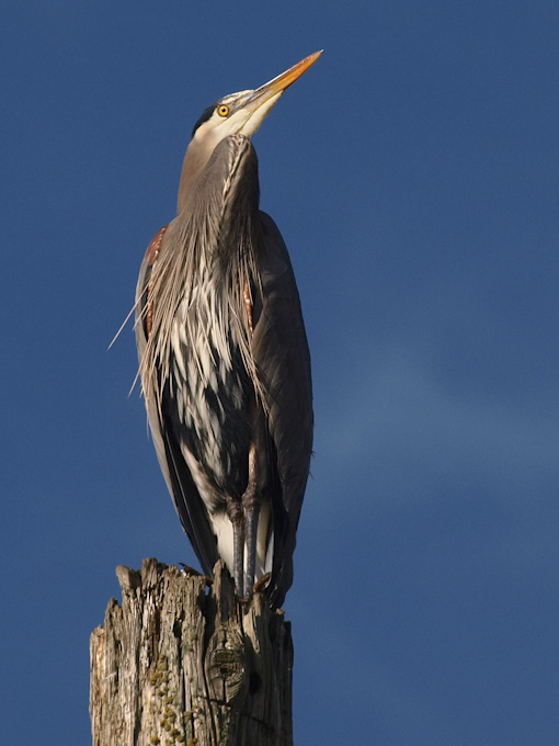 Tribute to a Great Heron … a Blue One