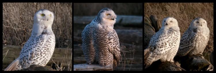 Snowy Owls, Boundary Bay & Rethinking My Own Motivations