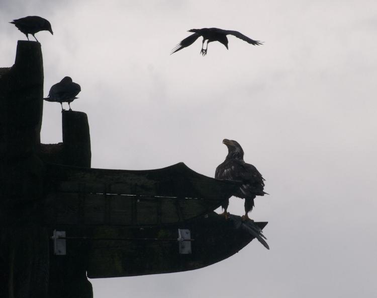 Eagle Noir