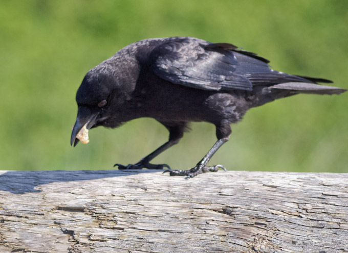 Crow Casting a Pellet [Almost]