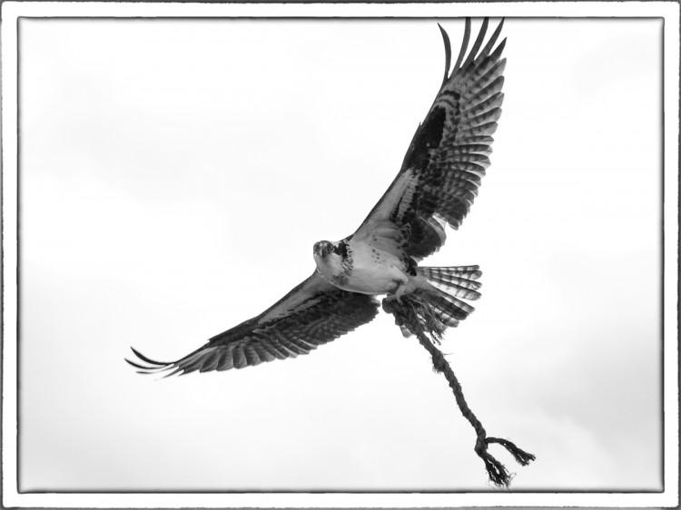Osprey Noir