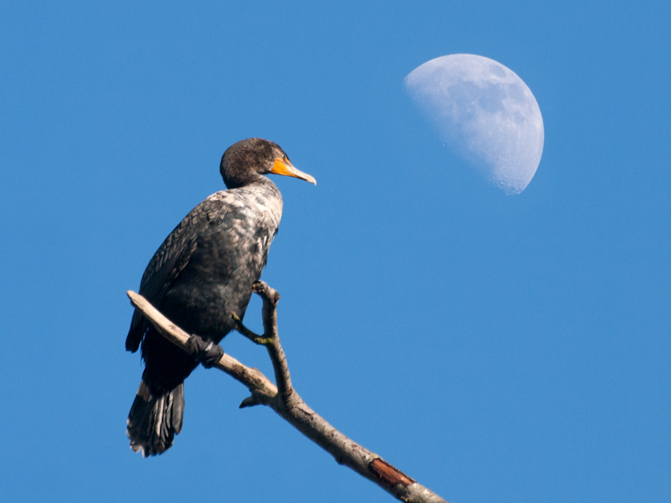 Say It's Only a Cormorant Moon …