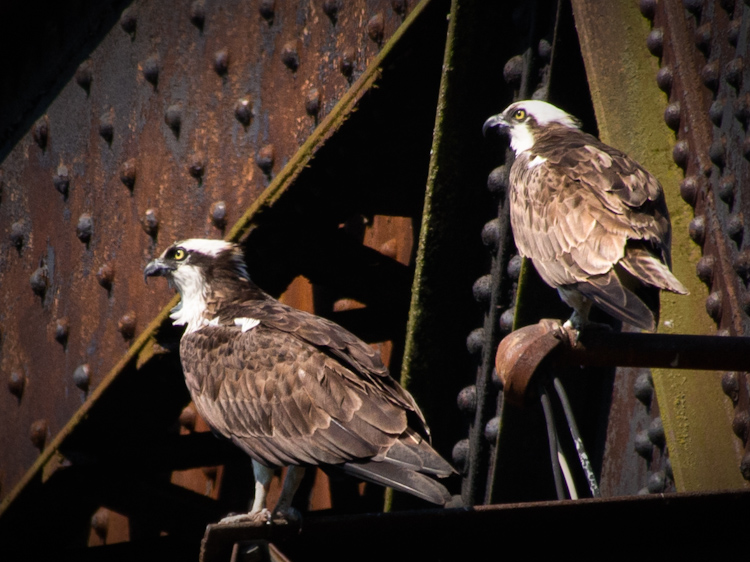 Osprey: From Pairing to Fledging
